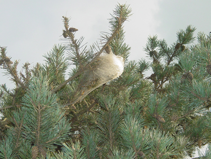 Chenilles du pin cocon blanc